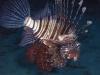 indischer_rotfeuerfisch