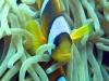 anemonis-2