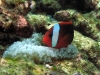 annemonenfisch